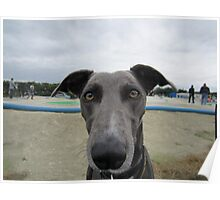 Doug the greyhound Poster