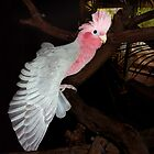 Bailey, Pink and Grey Galah. by Toni Kane