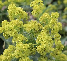 Lady's Mantle by karina5