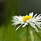 Daisy Daisy - how does your garden grow? by TeresaMiddleton