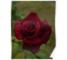 Memorial Rose - nature at its finest Poster