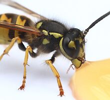 Wasp Drinking Honey by Jon Laysell