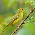 Yellow Warbler by photosbyjoe