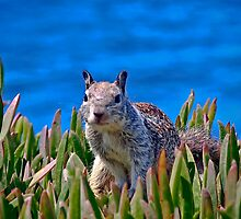 Pacific Squirrel by heatherfriedman