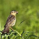 Bobolink / Female by naturalnomad