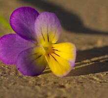 Wild Pansy - Viola Tricolor by Megan Noble