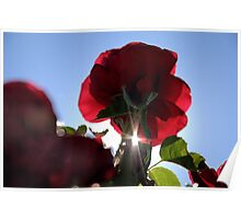 Backlit Rose Poster