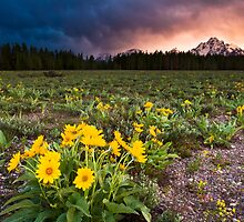 Balsamroot Wildflowers and Teton Mountains Sunset by cavaroc