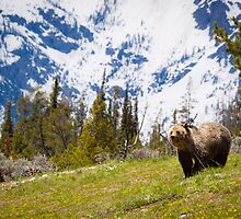 """Blondie"" Grizzly Bear and Teton Mountains by cavaroc"