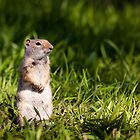 Ground Squirrel Standing in Grass by cavaroc
