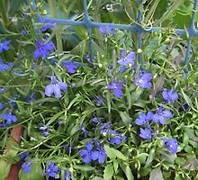 Lobelia in my garden-Sandford, Victoria, Australia. by Trish Martin