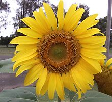 Sunflower in my garden-Sandford, Victoria, Australia. by Trish Martin