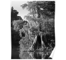 Cypress Reflections Black and White Poster