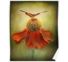 Butterfly on dancing Coneflower.. Poster