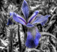 Iris flower by Andre Faubert