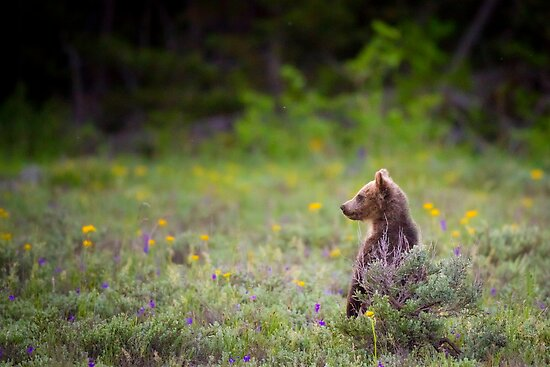 Grizzly Bear Cub Standing by cavaroc