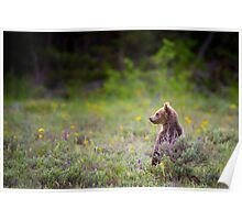 Grizzly Bear Cub Standing Poster