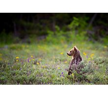 Grizzly Bear Cub Standing Photographic Print