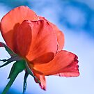 Rose up and away   by DIANE  FIFIELD