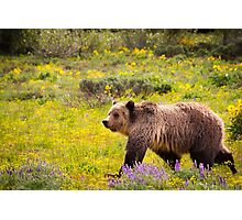 Grizzly Bear, Blondie, in Wildflowers Photographic Print