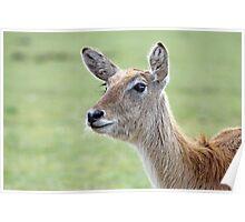 Stunning Red Deer Poster