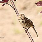 Savannah Sparrow by Yannik Hay