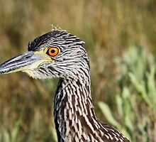 Young night heron up close by jozi1