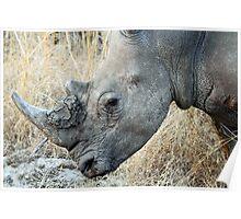 White rhino in profile Poster