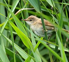 Reed Warbler by Mark Hughes