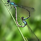 Bluets Mating Game by Renee Blake