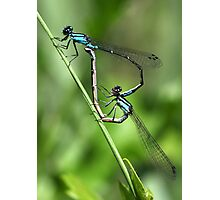 Bluets Mating Game Photographic Print