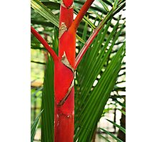 Red palm Photographic Print