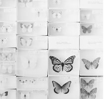 Lepidopterology by Bethany Helzer