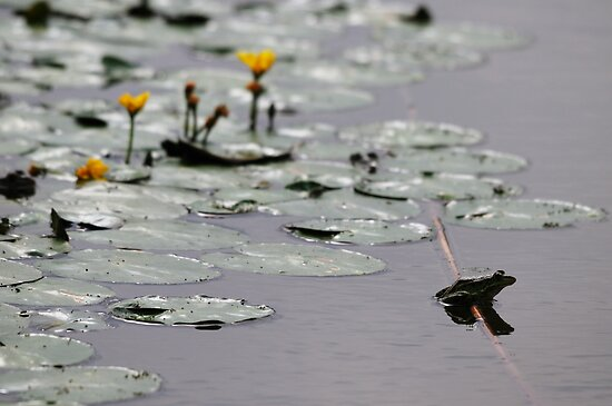 Frogs Life - Danube Delta, Romania by Derek McMorrine
