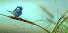 Splendid Fairy-Wren & Reeds by Christopher Pope
