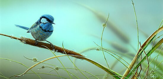 Splendid Fairy-Wren & Reeds by Christopher Pope