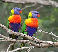 Rainbow Lorikeets. Brisbane, Queensland, Australia. (3) by Ralph de Zilva
