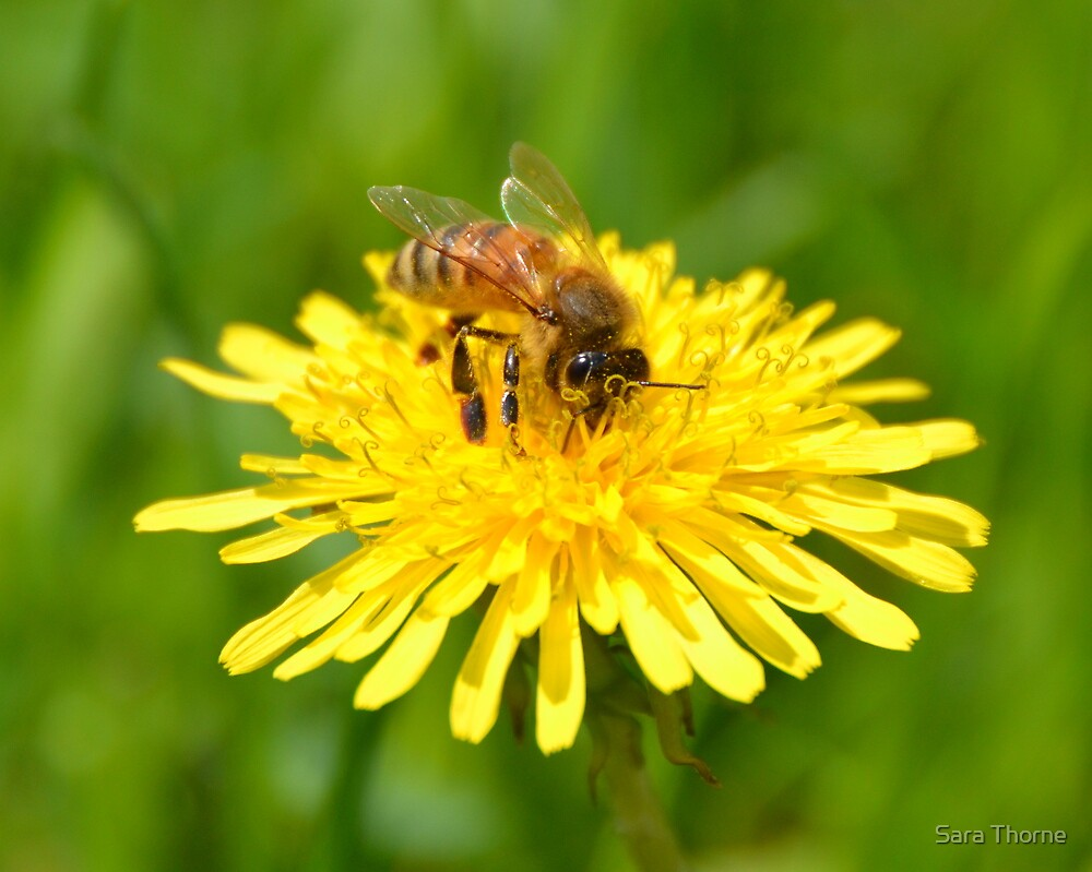 Dandelion Bee by Sara Thorne