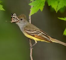 Butterfly Breakfast for a Great Crested Flycatcher. by Daniel Cadieux