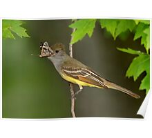 Butterfly Breakfast for a Great Crested Flycatcher. Poster