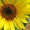 Sunflower by Angela Micheli Otwell