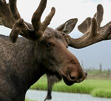Moose by Jessica Kruer