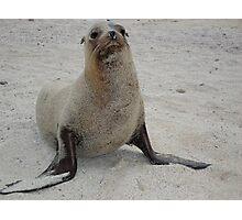 Sandy Sea Lion Photographic Print