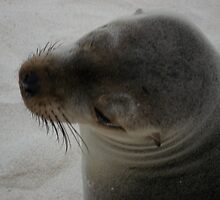 Galapagos Sea Lion by Ccarter13
