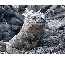 Galapagos Marine Iguana Photographic Print
