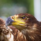 Juvenile Bald Eagle by withacanon