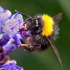 Bee taking nectar by heavydpj