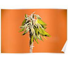 Desert Flower - Old Andado, Northern Territory Poster