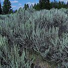 Where The Silver Sage Grows - Grand Teton National Park, Teton County, WY by Rebel Kreklow