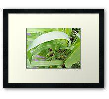 Corn Crop Framed Print